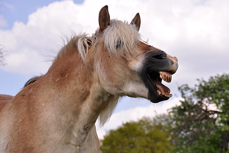 brown horse opening mouth