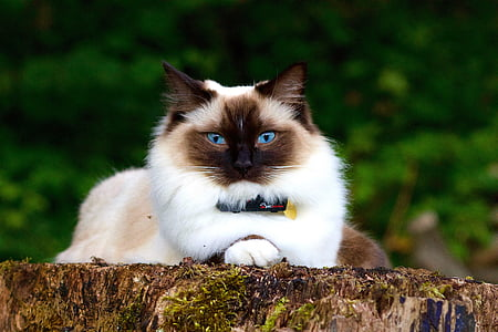 white and black Himalayan cat lying on rock