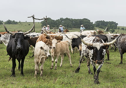 herd of cattle near cowboys at daytime