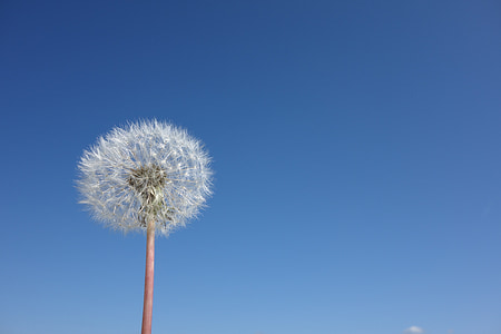 white dandelion flower in bloom at daytime