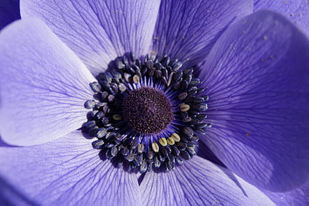 macro photography of purple anemone flower