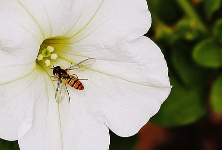 yellow and black hoover fly on white petaled flower