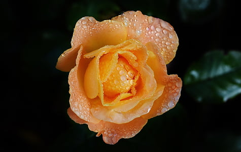 focus photography of orange rose