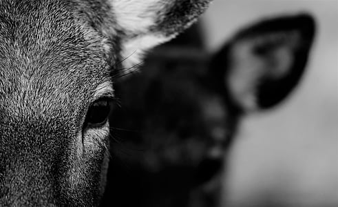 bokeh shot of black and white cow