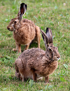 two brown rabbits on green grass at daytime