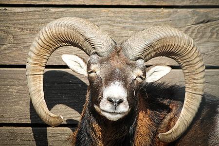 black and brown ram
