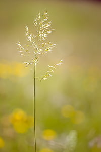 grass, grasses, seeds, plant, meadow, nature