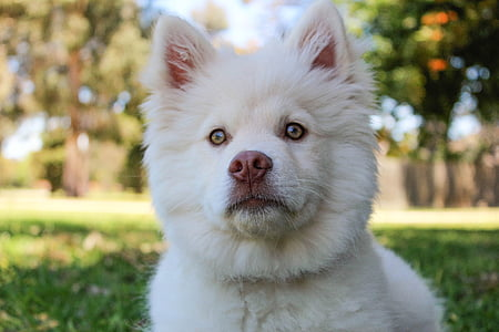 white Siberian husky puppy laying down on green grass