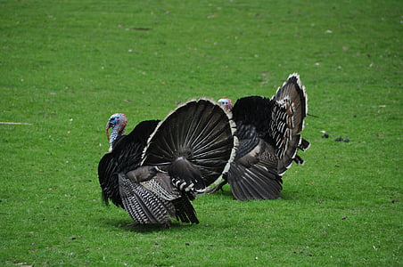 two wild turkeys on grass