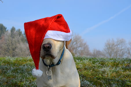 yellow Labrador retriever wearing Santa hat