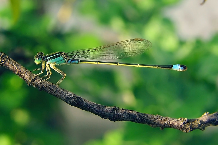 selective focus photography of blue dragonfly