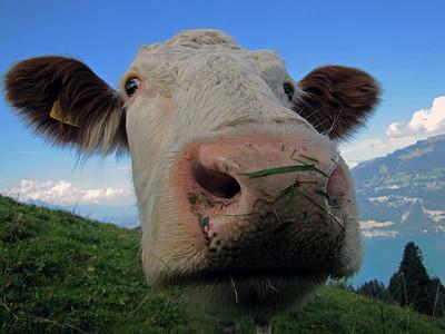 shallow focus photo of white cow