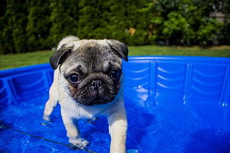 fawn pug puppy on blue pool