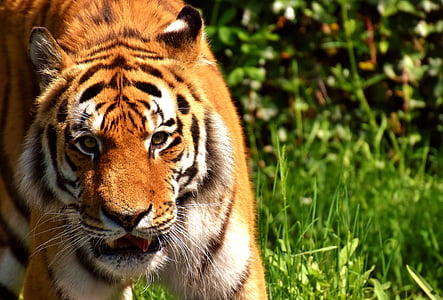 brown and white tiger on grass during daytime