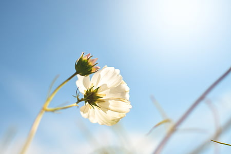 closeup photo of white cosmos flower