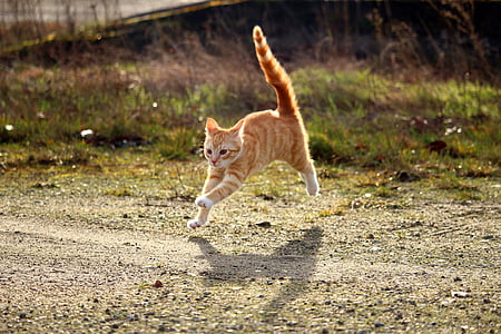 orange tabby cat leap on road