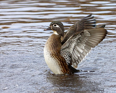 brown and gray duck wiggle its wings in middle of water body