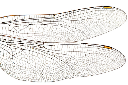 two dragonfly wings illustration
