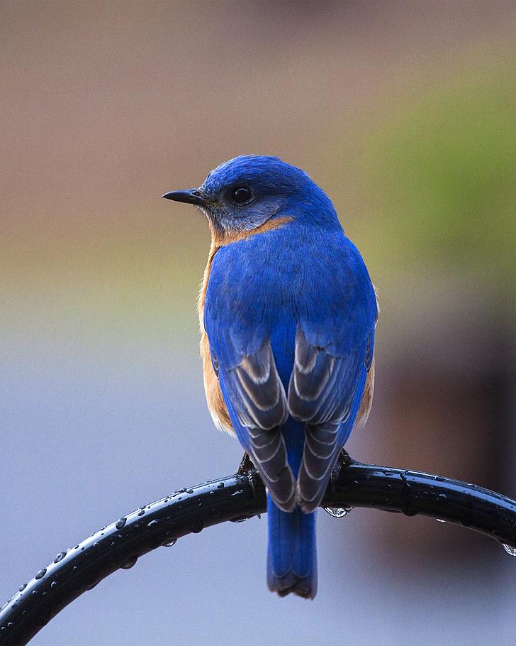 blue and brown short-beak bird