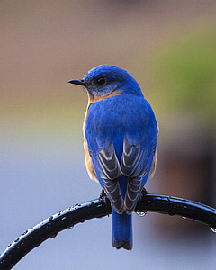 blue and brown short-beak bird