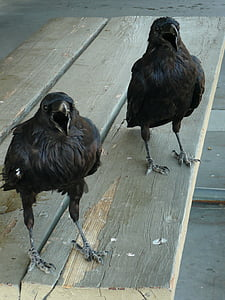 two short-beak black birds on table