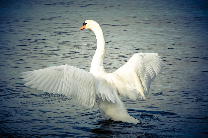 photo of swan in body of water during daytime