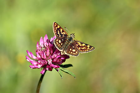 close up photo of brown and yellow butterfly on pink cluster flower