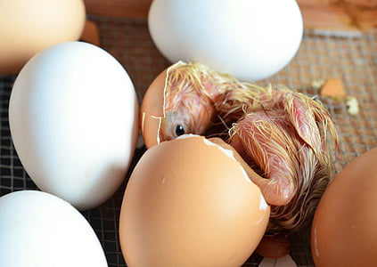 yellow chick hatching beside white eggs at daytime
