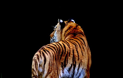 brown tiger with black background