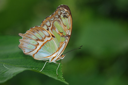 selective focus photography of green and brown butterfly perched on green leaf