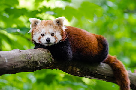 photo of brown and beige red panda on tree