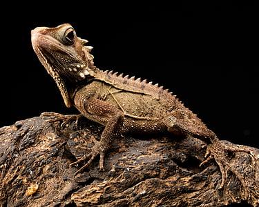 wildlife photography of brown iguana on brown rock