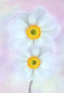 white petaled flower digital wallpaper