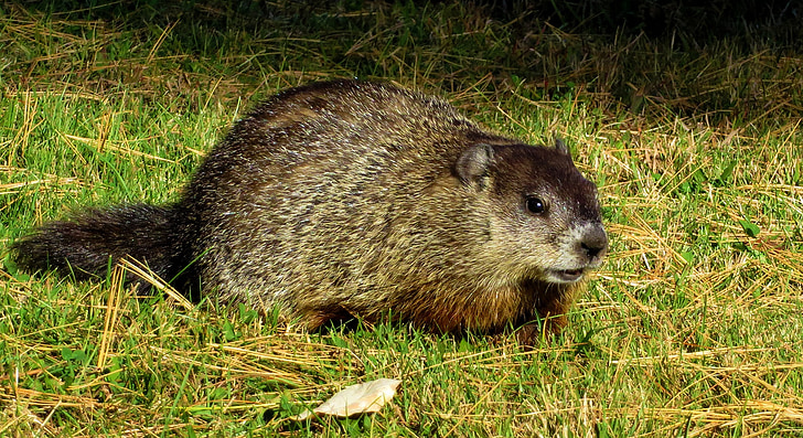 brown rodent resting on green grass
