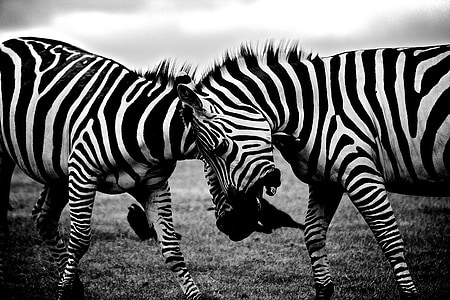 grayscale photo of two zebras fighting