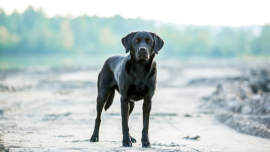 black labrador retriever standing near piled soils