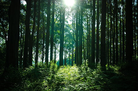sun rays passing through forest trees
