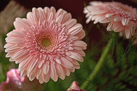 shallow focus photography of pink gerbera daisy