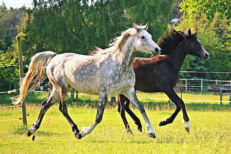 white and brown horses running together