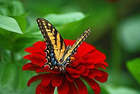 Eastern tiger swallowtail butterfly on red petaled flower