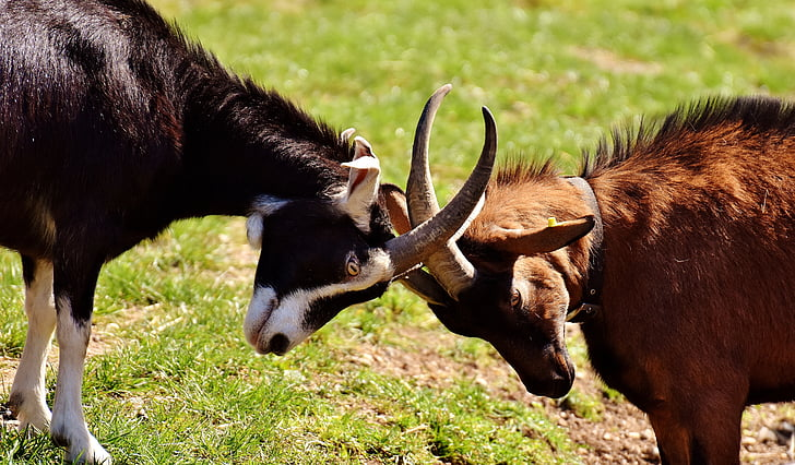 black and brown goats