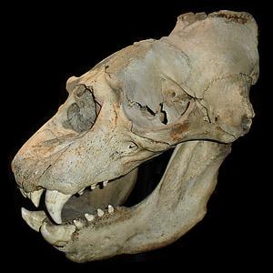 white animal skull