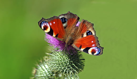 micro lens photography of peacock butterfly perching on flower