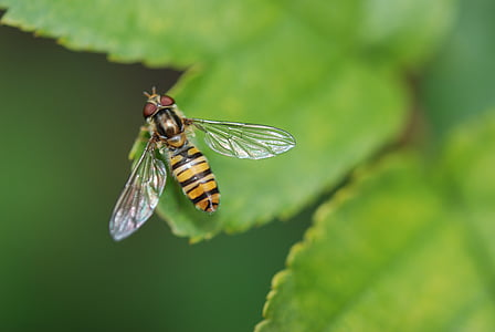 black and yellow hoverfly on green leaf