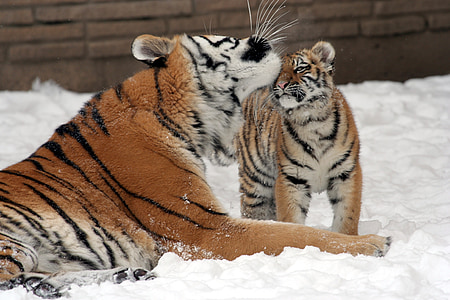 tiger licking her baby head surrounded by snow