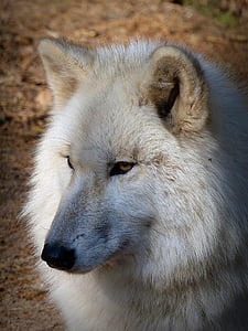 shallow focus photography of white wolf