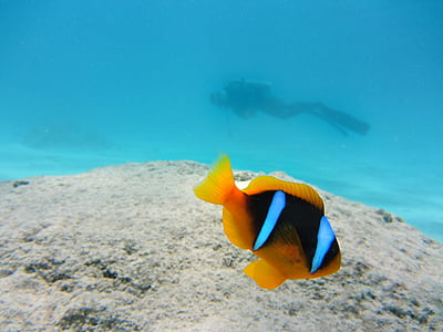 yellow and black clown fish under water near scuba diver