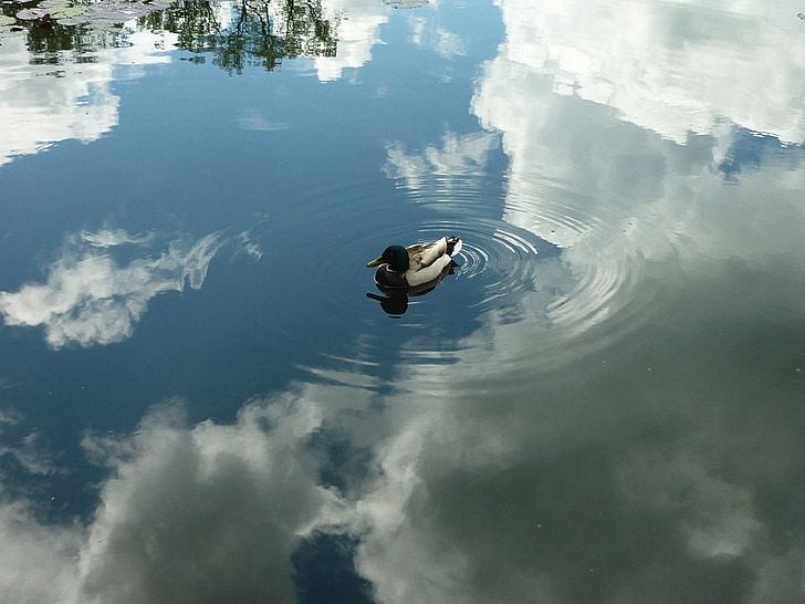 white and black mallard duck floating on water