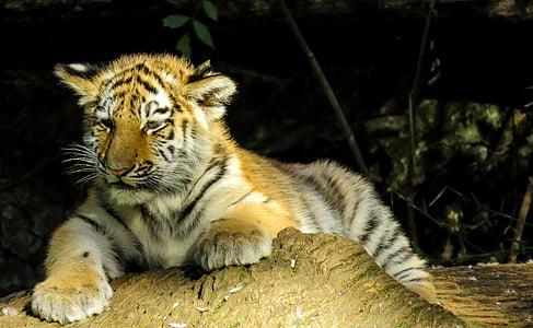 shallow focus photography of Bengal tiger cub