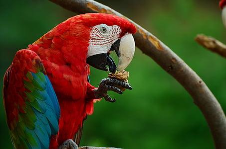 Macaw close up photo